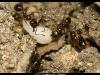 aphaenogaster-subteranea