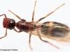 camponotus-truncatus