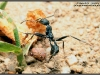 aphaenogaster-senilis-et-pheidole-pallidula