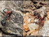 camponotus-cruentatus-media-major