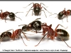 camponotus-ligniperdus