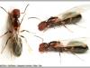camponotus-truncatus-reine