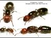 crematogaster-scutellaris