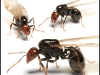 messor-barbarus-reine-photo
