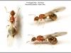 temnothorax-nylanderi-reine