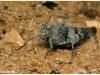 oedipoda-caerulescens