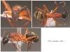 camponotus aurosus