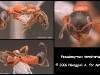 pseudomyrmex termitarius