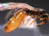solenopsis orbula-gyne