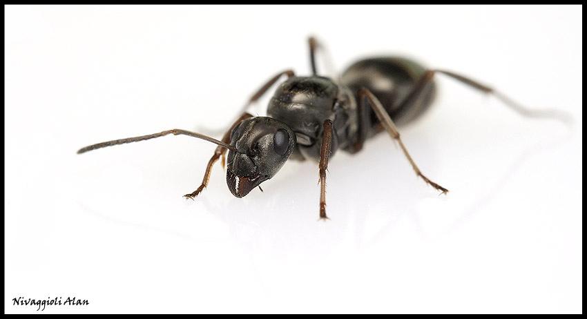 quizz quelle esp ce de fourmis antsmania. Black Bedroom Furniture Sets. Home Design Ideas