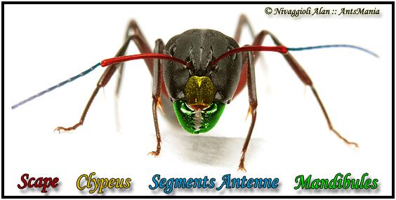 Tête de la fourmi