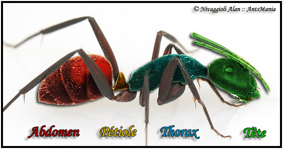 Corps de la fourmis