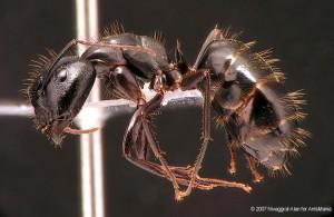 Camponotus aethiops major