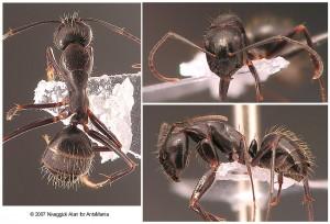 Camponotus aethiops minor