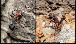 Camponotus cruentatus major et média