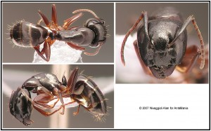 Camponotus fallax major