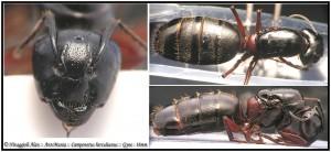 Camponotus herculeanus gyne