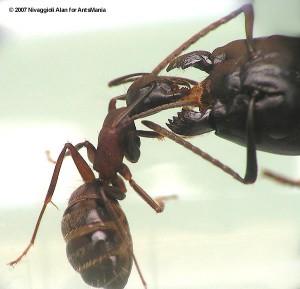Camponotus herculeanus ouvrière