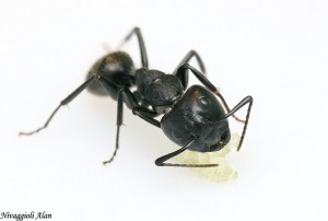 Camponotus vagus major