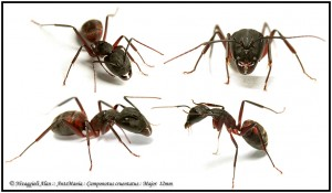 Camponotus cruentatus major