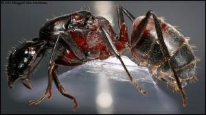Camponotus cruentatus gyne