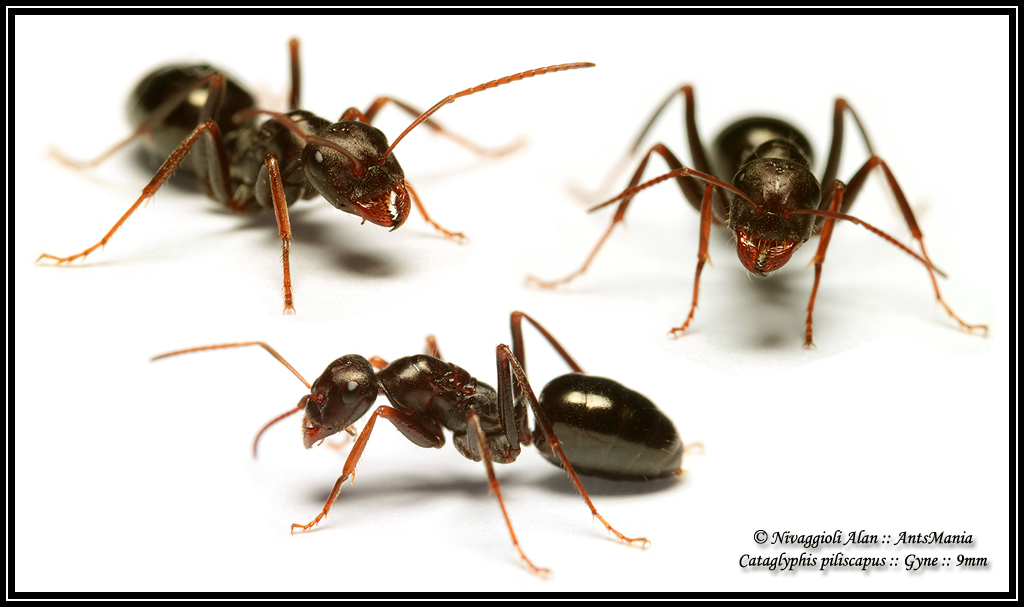 a study of the ant odometer in cataglyphis fortis an ant specie Research on desert ants cataglyphis fortis near maharès  one of the study species, cataglyphis bicolor the odometer, or memory for the.