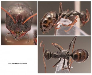 Cataglyphis piliscapus ouvrière