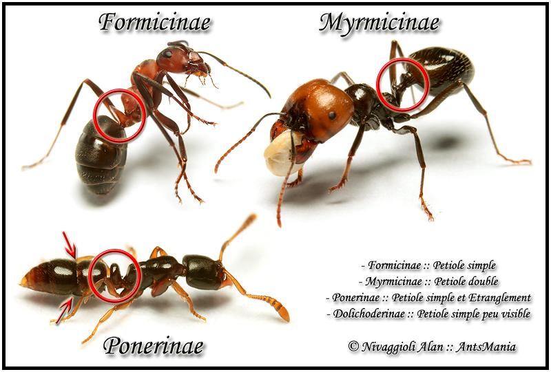sous-famille fourmis