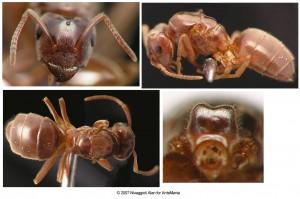 Lasius umbratus taxonomie