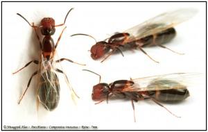 Camponotus truncatus reine