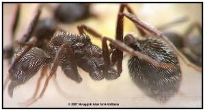 Aphaenogaster senilis reine