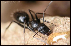 Camponotus foreli ouvriere