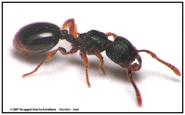 myrmecina graminicola