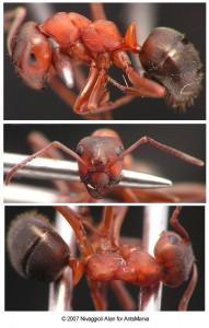 formica sanguinea ouvriere