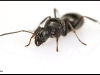 formica-fusca
