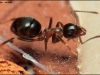 lasius-emarginatus