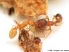 temnothorax lichtensteini