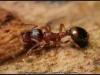 temnothorax-unifasciatus