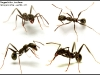 aphaenogaster-senilis_0