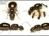 camponotus-piceus