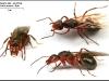 formica-polyctena-reine