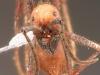 eciton burchelli
