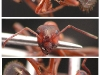 formica sanguinea