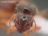 pheidole pallidula