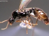solenopsis orbula-male